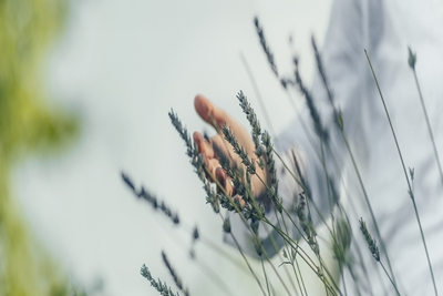 Dreamy Panoramic Image of a Female Hand Moving Through Lavender Flowers